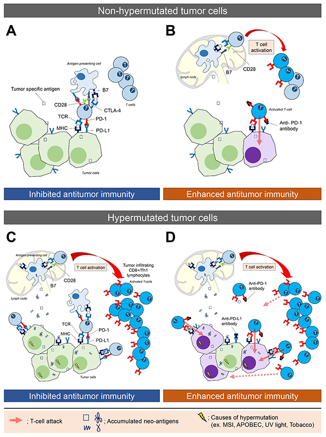 The immune microenvironment in non-hypermutated and hypermutated tumors, and enhanced immune activity following blockade of the PD-L1/PD-1 interaction.