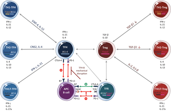 CD4+ T cell plasticity.
