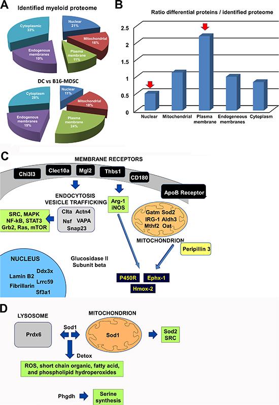Unbiased comparative quantitative proteomics between ex vivo B16-MDSCs and conventional immature DCs.