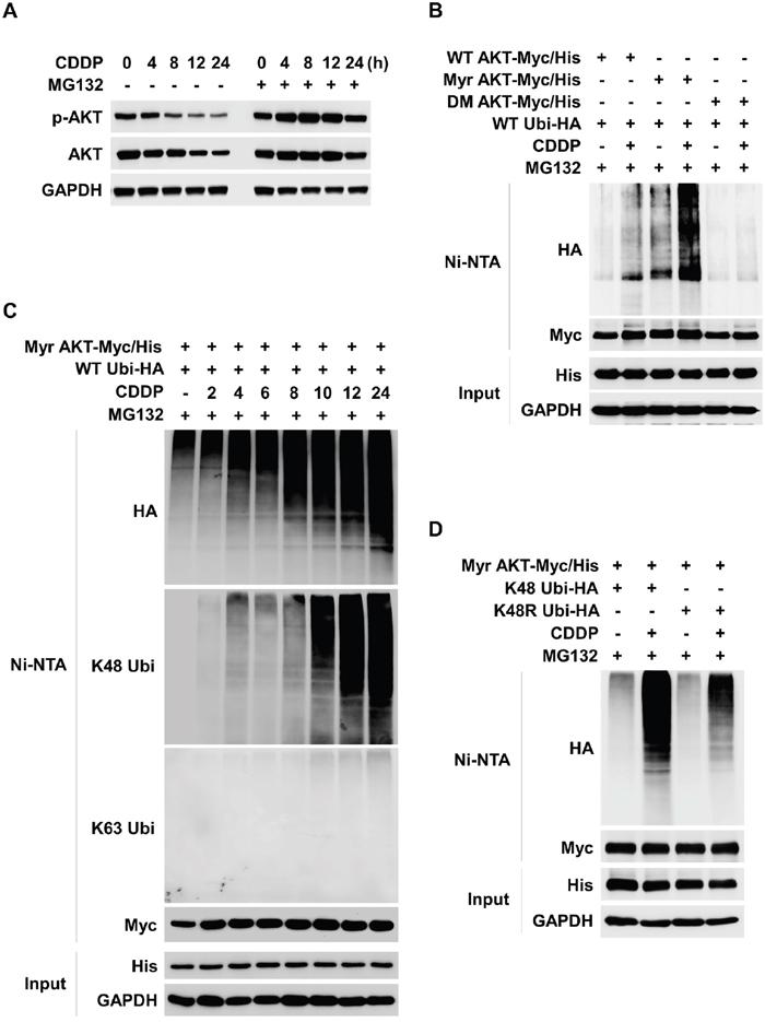 CDDP induces K48-linked ubiquitylation and degradation of AKT.