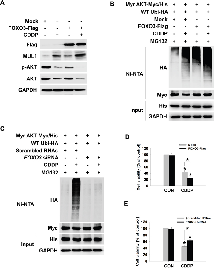 FOXO3 mediates CDDP-induced MUL1 expression.