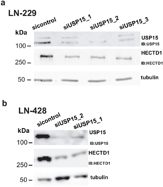 USP15 knockdown leads to decreased HECTD1 protein levels.