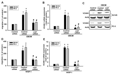 Fig.3: Osteoblast-derived WISP-1 boosts migration and VCAM-1 expression via integrin αvβ1 receptor.