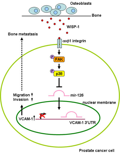 Fig.6: Schematic presentation of signaling pathways involved in osteoblast-derived WISP-1-induced migration and VCAM-1 expression of PCa cells.