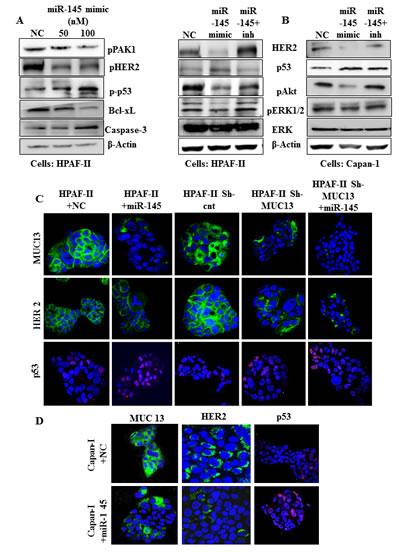 Fig.3: miR-145 inhibits MUC13 and its associated proteins in PanCa cells.