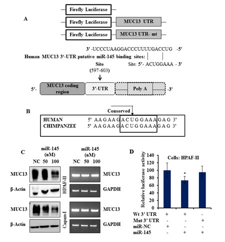 Fig.1: miR-145 negatively regulates the expression of MUC13.
