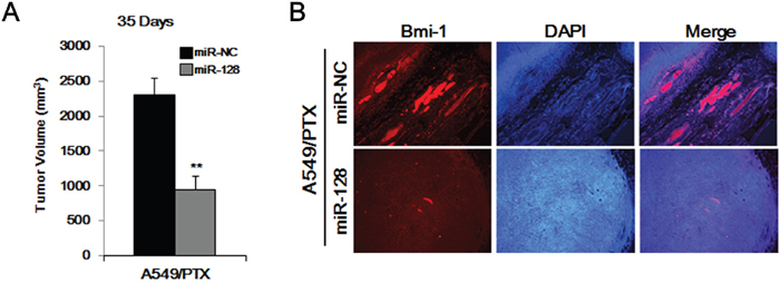 Overexpression of miR-128 inhibits the tumor-forming ability of A549/PTX CD133+ cells.