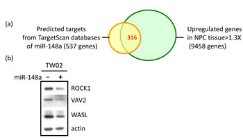 Identification of the target genes of miR-148a and the effect of miR-148a on the targets.