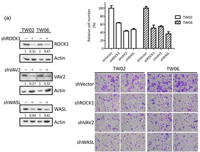miR-148a inhibits integrin signaling pathway by targeting ITGA11, ITGB8, VAV2, and WASL.