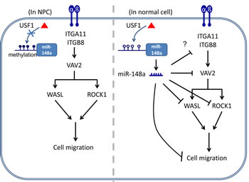Schematic model of the silencing of miR-148a through aberrant hypermethylation enhances cell migration in NPC.