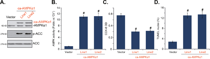 Forced-activation of AMPK is cytotoxic to HepG2 cells.