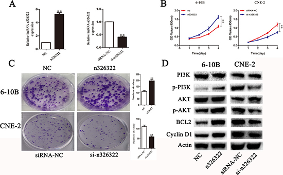 LncRNA-n326322 promotes NPC cell proliferation.