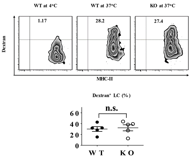 TIEG1 was not required for LC phagocytosis.