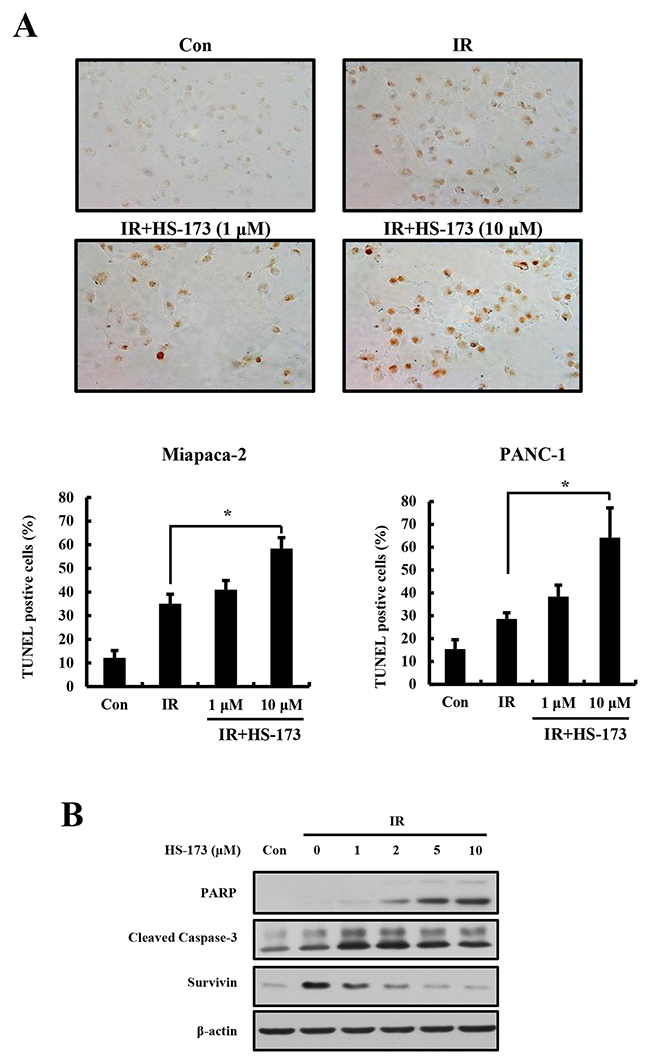 The combination of HS-173 and radiation synergistically induces apoptosis.