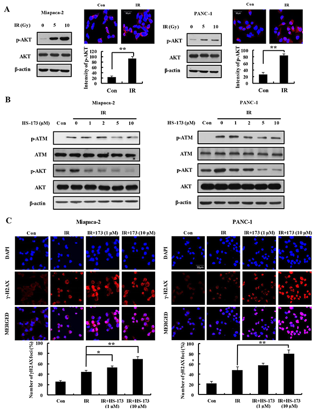 HS-173 increases expression of γ-H2AX through inhibition of ATM in irradiated pancreatic cancer cells.