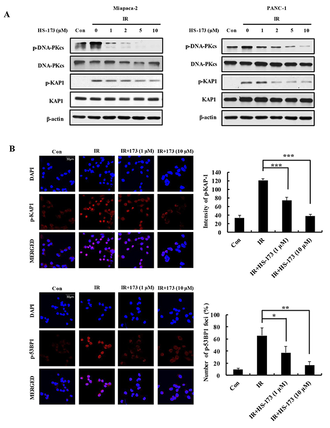 HS-173 impairs DSB repair responses by inhibiting DNA-PKcs activation in irradiated pancreatic cancer cells.