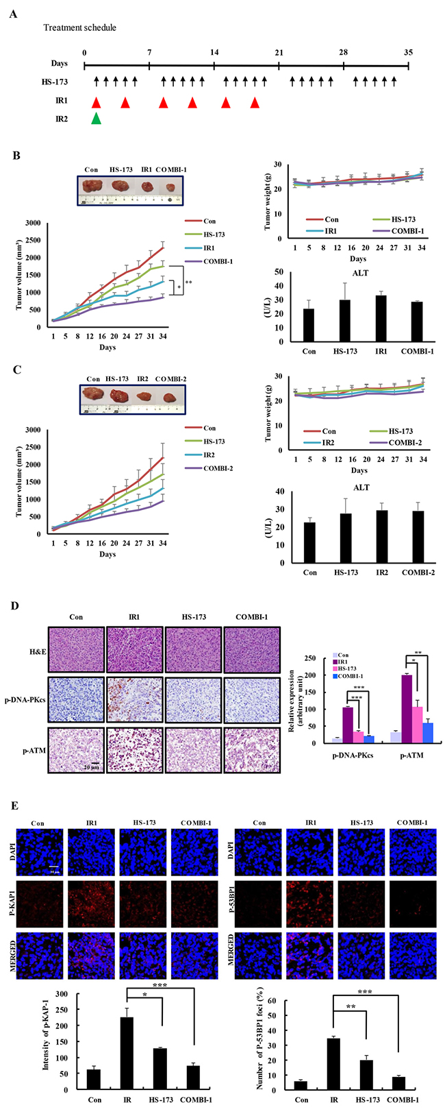 HS-173 inhibits tumor growth and DNA repair responses, thereby inducing radiosensitization in irradiated xenograft models.