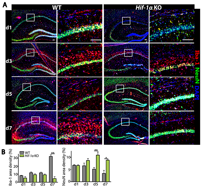 Decreased infiltrating microglia while increased number of neurons are observed in Hif-1α KO mice following MCAO.