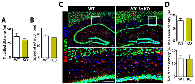 Without MCAO Hif-1α KO mice demonstrate similar behavioral outcome and comparable numbers of microglia and neurons to WT mice.