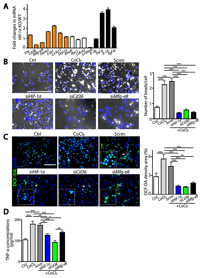 HIF-1α-regulated microglial functions are mediated by Cd36 or Mfg-e8.
