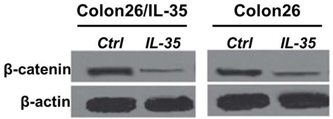 The protein level of β-catenin was measured by western blotting. Colon26/IL-35 and Colon26 cells were treated with 100 ng/mL rhIL-35. n = 3.