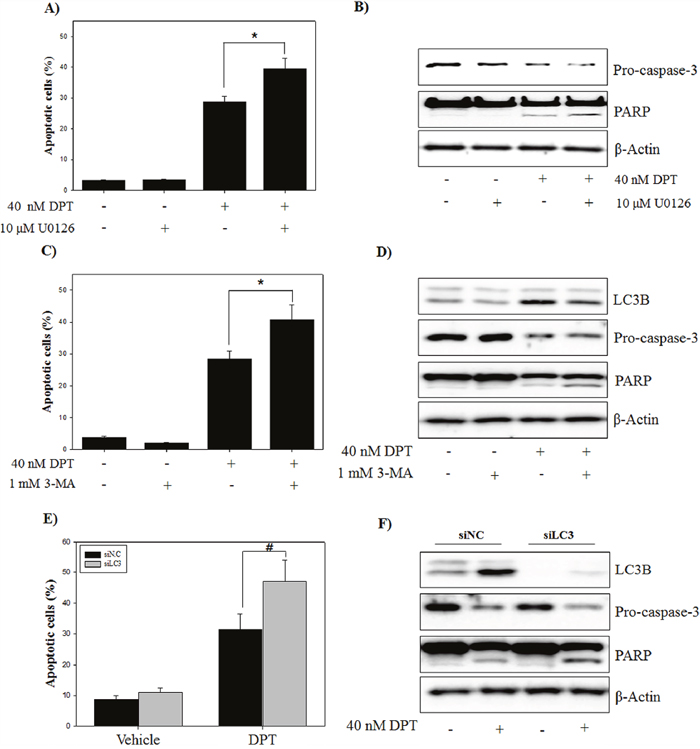 Inhibition of ERK/autophagy enhances DPT-induced apoptosis in PC-3 cells.