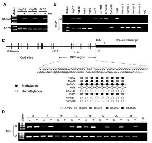Fig.2: CLDN3 promoter methylation status in HCC.