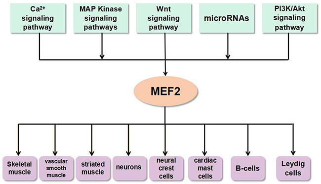 The link between MEF2 proteins and signals in various types of cells and tissues.