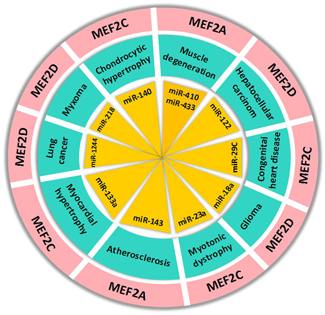 The regulation of MEF2 proteins by microRNAs in human diseases.