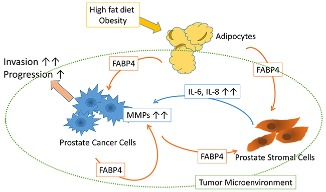 Schematic of the putative effect of FABP4 on the tumor microenvironment.