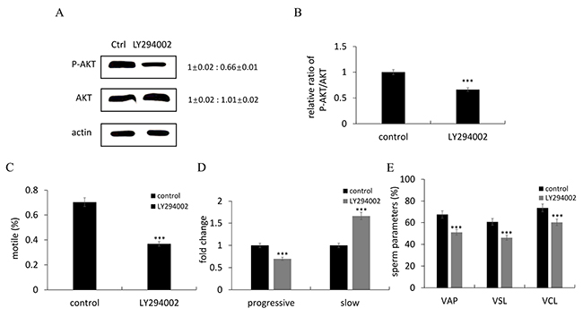 LY294002 suppressed sperm motility through inhibiting the PI3K/Akt signaling pathway.