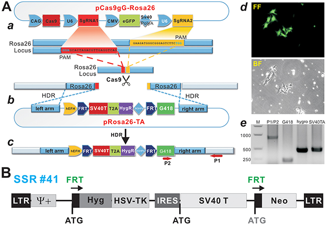 A CRISPR/Cas9-based SV40 T-antigen immortalization strategy by targeting Rosa26 locus.