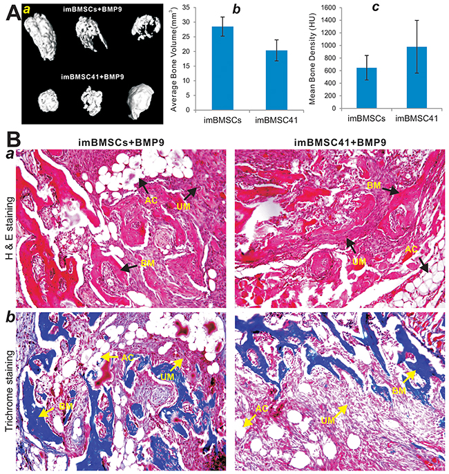 BMP9 induces robust ectopic bone formation from the imBMSCs and imBMSC41 cells in vivo.