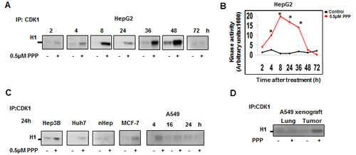 PPP induced early upregulation of CDK1 kinase activity.
