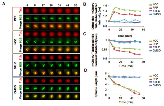 PPP addition in metaphase led to spindle collapse, increased levels of diffusible mCherry-a-tubulin, and decreased levels of spindle-associated mCherry-a-tubulin.