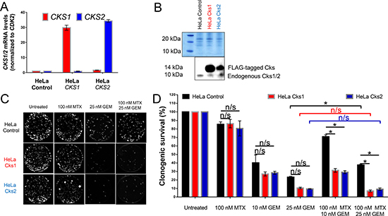CKS protein overexpression sensitizes, while low CKS protein expression protects proliferating HeLa cells from gemcitabine-induced toxicity under replication stress.
