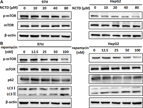NCTD induces autophagy via suppression of the mTOR pathway.