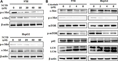 NCTD downregulates the c-Met signaling pathway.
