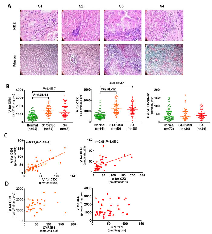 Increased CYP2E1 activity in hepatic fibrosis patients.