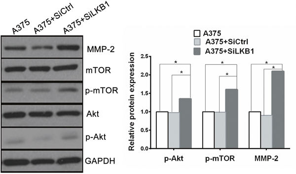Knockdown of LKB1 expression in BRAF V600E melanoma cells increased cell invasion via up-regulating MMP2 secretion through PI3K/Akt/mTOR pathway.