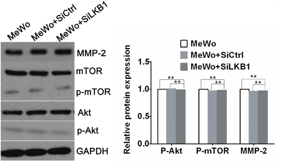 The expression of MMP-2、phosphorylated Akt and phosphorylated mTOR in LKB1 knockdown MeWo cells by western blot analysis.