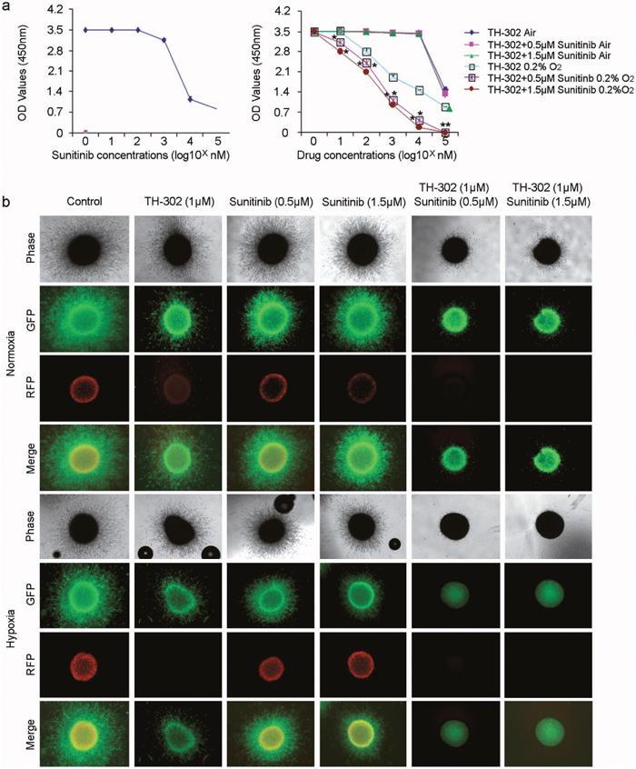 TH-302 increases the inhibitory effect of sunitinib in vitro.