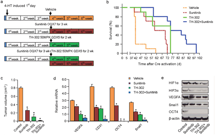 Effects of long term TH-302 and sunitinib therapy in vivo.