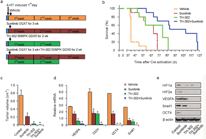 Effects of long term TH-302 and sunitinib prevention regimen in vivo.
