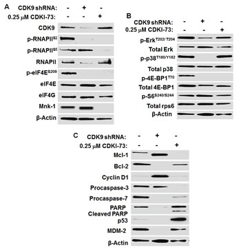 Mechanism of action of CDKI-73 in A2780 cells compared to shRNA-mediated CDK9KD in A2780 cells.