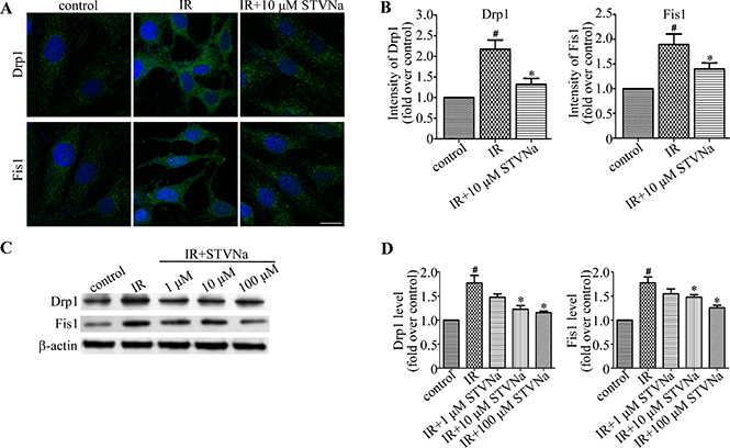 STVNa inhibited mitochondrial fission proteins Drp1 and Fis1.