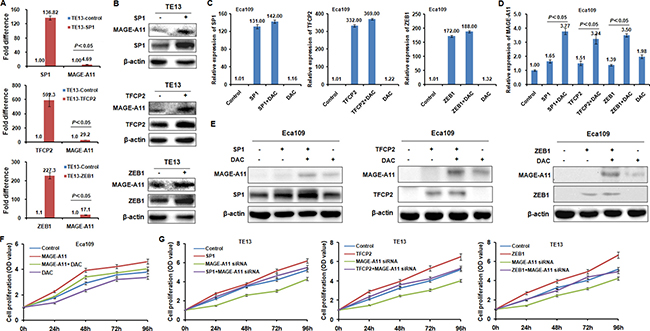 TFCP2 and ZEB1 regulate MAGE-A11 transcription in a methylation-dependent manner in ESCC cells.