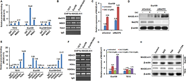 MAGE-A11 is regulated through the combination of DNA methylation and histone acetylation in ESCC cells.