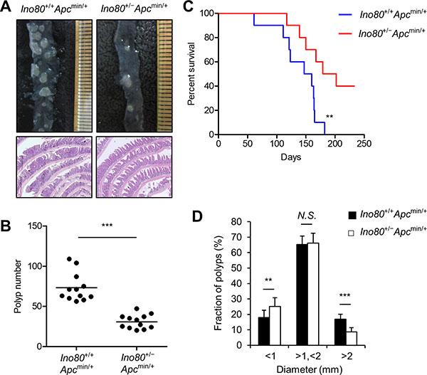 Ino80 haploinsufficiency inhibits intestinal tumorigenesis in Apcmin/+ mice.
