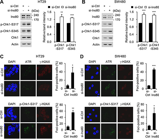 Ino80 knockdown activates ATR-Chk1 signaling in human colon cancer cells.
